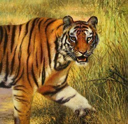 Pench Tiger by Tony Forrest - Oil on Stretch Canvas sized 24x24 inches. Available from Whitewall Galleries
